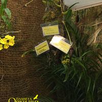 Bulbophyllum fascinator Владимира Маркина