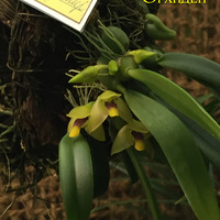 Bulbophyllum fascinator, Trias nasuta, Oncidium onustum Владимира Маркина
