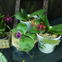 Phalaenopsis Mutio Coral Mambonosa x Id's Bear Queen Mituo Ксении Ковалевой