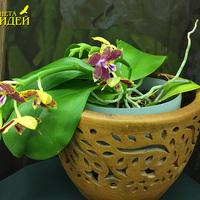 Phalaenopsis Yungbo Gelb Princess x Phal. Jogo Kaiulani Бурмистренко Екатерины