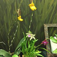 Psychopsis Mariposa, Фаленопсис гибридная