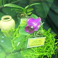 Laeliocattleya Mini Purple Claster Татьяны Захаровой