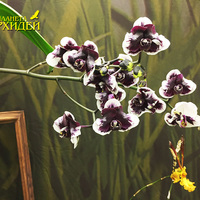 Phalaenopsis Hsinying Little Knight 'Plastic Doll' Татьяны Захаровой