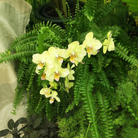 Фаленопсис гибридная