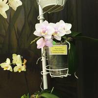 Phalaenopsis Tying Shin Sweetheart Татьяны Захаровой