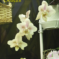 Phalaenopsis I-Hsin Yellow Lady 'Peloric' Татьяны Захаровой