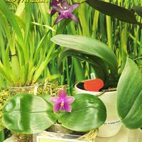 Phalaenopsis Sogo Kaiulani x bellina Снежаны Лобачевой