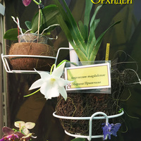 Angraecum magdalenae Марины Притчиной