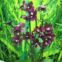 Doritaenopsis темно-бордовый
