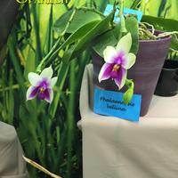 Phalaenopsis bellina Владимира Чекмарева