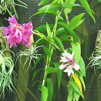 Dendrobium sulawesiense Владимира Чекмарева