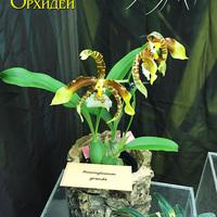Rossioglossum Grande Владимира Чекмарева