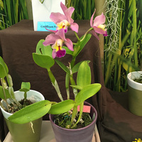 Cattleya hybrida