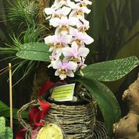 Phalaenopsis Philadelphia (schilleriana x stuartiana) Людмилы Дроздовой, завоевавшая 1 место в конкурсе на номинацию «Лучшая гибридная орхидея»