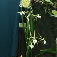 Epidendrum falcatum Сергея Беляева, получивший первое место среди видовых орхидей