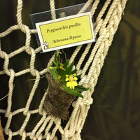 Psygmorchis pusilla Леденевой Ирины