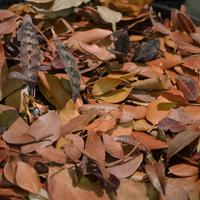 орхидеи Oeceocladesпрекрасно прячутся в опавшей листве