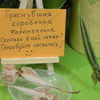 коробочка семянорхидеи фаленопсис
