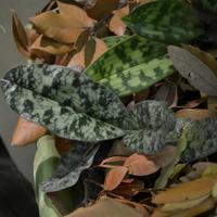 листья орхидеиPaphiopedilum vietnamense<br>с самым красивым рисунком