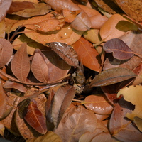 Oeceoclades умелопрячутся в опавшей листве