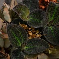 драгоценные орхидеи