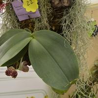 впервые за историю выставок в Москве,у нас выставлен цветущий<br>Phalaenopsis gigantea.<br>Владелец - Мария Стебловская
