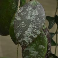 хойя с красивыми расписными листьями