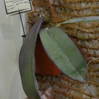 Bulbophyllum phalaenopsis появился на выставке впервые.