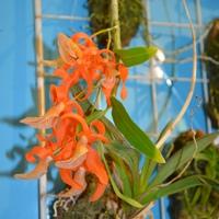 Яркий Dendrobium unicum продавался. Приехали новые продавцы с сотнями видов и гибридов орхидей.