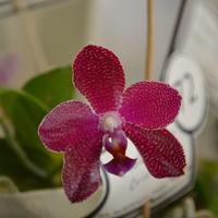 Phalaenopsis Zheng Min Ultrasonic