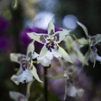 Фестиваль орхидей - Одонтиода
