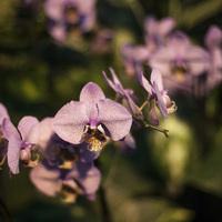 Фестиваль орхидей - жемчужная Фаленопсис