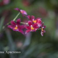Гибридная Мильтония украшение фестиваля орхидей
