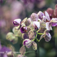Фестиваль орхидей - Фаленопсис  крапчатая