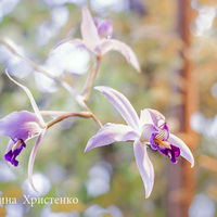 Украшение фестиваля  орхидей  Laelia anceps