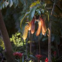 Непентесы в зарослях оранжереи