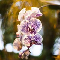Фестиваль орхидей -  Фаленопсис