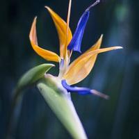 Фестиваль орхидей  -   цветет Стрелиция