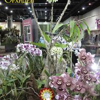 Призер выставки - 2 место - Dendrobium smilliae f. album в оформлении из Фаленопсис и Цимбидиума на выставке WOC 21