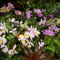Blc. Mount Anderson, Cattleya intermedia