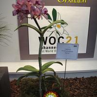 Cattleya amethystoglossa 'Herbie' на выставке WOC 21