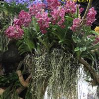 Розовые и синие Ванды на выставке WOC 21