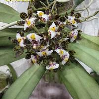 Gastrochilus bellinus - призер выставки WOC 21 - 3 место