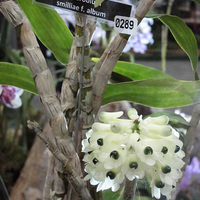 Dendrobium smilliae f. album на выставке WOC 21
