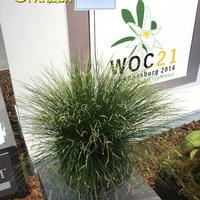 Dendrochilum tennilum - призер выставки WOC 21