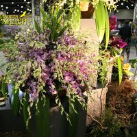 Dendrobium King Dragon x Doreen на выставке WOC 21