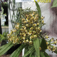 Gastrochilus calceolaris на выставке WOC 21