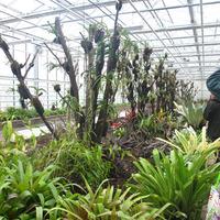 Оранжерея с Бромелиевыми и орхидными.Нижний ярус - Бромелиевые и Собралия. <br>На сухих деревьях пристроены <br>различные орхидеи - Ванды, Каттлеи и др.