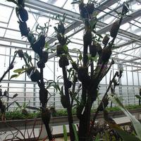 На этом дереве различные Каттлеи - видовые и гибридные
