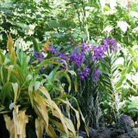 Цветущая Vanda coerulea